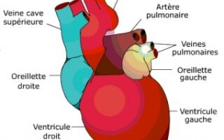 Anatomie et Physiologie Cardiaque